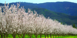 cropped-Almond-Trees-2010_Credit_First-Street-Design.jpg
